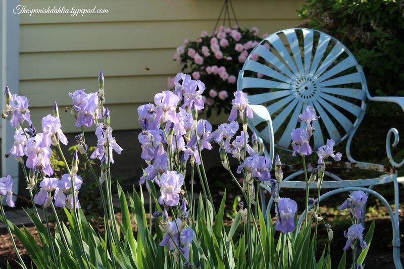 Spring Peonies ~ 2014 032